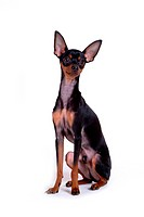 pose, domestic, companion, house pet, canines, miniature pinscher