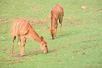 Land animal, deer, mammal, vertebrate, field, wild animal, animal (thumbnail)