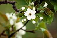 flower, nature, apple blossom, apple tree, scene, flowers, landscape