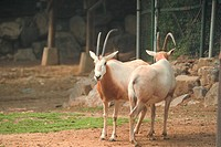land animal, deer, mammal, vertebrate, zoo, wild animal, animal