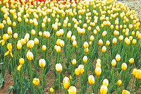flowergarden, flower, yellowtulip, yellow, spring, carpet, tulip