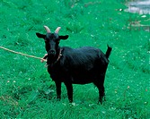 land animal, grazing, mammal, vertebrate, animal, domestic animal, goat
