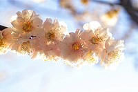 flower, spring, ume flower, natural world, nature, blooming, plant