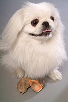Faithful, domestic animal, companion, canine, close up, pekingese (thumbnail)