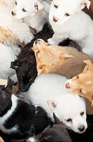 Numerous, dog, canines, domestic, animal, many, pup (thumbnail)