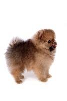 faithful, domestic animal, companion, canine, close up, pomeranian