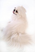 faithful, domestic animal, companion, canine, close up, pekingese