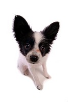 Faithful, domestic animal, companion, canine, close up, papillon (thumbnail)