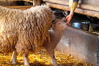 Domestic animal, sheep, land animal, mammal, vertebrate, animal (thumbnail)