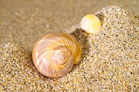 mollucca, animal, mollusc, mollusks, mollusk, shell, conch