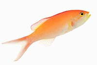 Redfin anthia