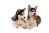 domestic, dog, husky, siberian husky, pet, canines, animal