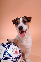 Canine, russell, close up, domestic animal, terrier, jack russell terrier (thumbnail)