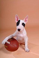 canine, dog, close up, domestic animal, pet, companion, bullterrier