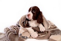 House pet, springer spaniel, canines, domestic, spaniel, english springer spaniel (thumbnail)