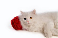 lying down, domestic feline, softness, cute, domestic cat, turkish angora