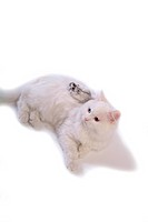 domestic, pearl, feline, turkish angora, cat, rodent, hamster