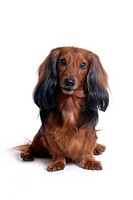 closeup, domestic animal, close up, looking camera, looking forward, dachshund