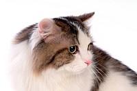 Turkish angora, turkishangora, domestic cat, feline, domestic animal, TurkishAngora