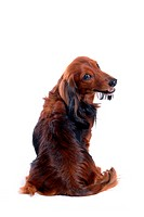 canine, domestic animal, closeup, close up, looking back, dachshund