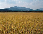 field, rice, mountain, scenic, natural world, gold