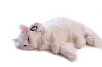 feline, pearl, rodent, turkish angora, cat, domestic, hamster