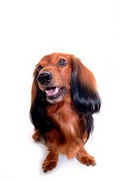 Canine, domestic animal, closeup, close up, looking up, dachshund (thumbnail)