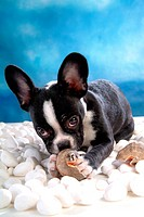 faithful, domestic, cute, loving, cnines, boston terrier