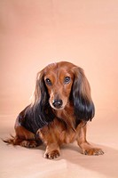 Looking forward, animal, domestic animal, dachshund, dog, looking camera, pet (thumbnail)