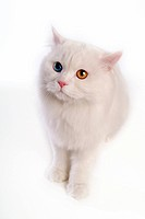 sitting, turkish angora, domestic cat, feline, domestic animal, close up, cat