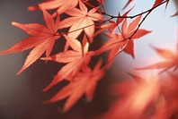 Branch Of Red Maple Leaves