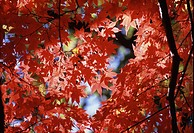 Maple Branches With Red Leaves