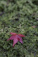 An Autumn Leaf Fell On The Moss