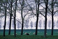 Sheep grazing in field, Oudendijk, N. Holland,
