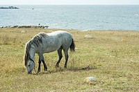 Horse grazing in field, sea in background