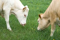 Cows grazing, close_up