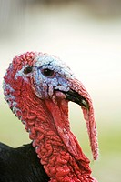 Turkey, close_up