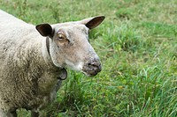 Sheep, close_up
