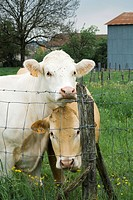 Cows standing beside wire fence, looking at camera