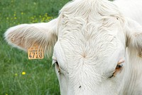 White cow with tagged ear, extreme close_up
