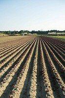 Vegetable seedlings growing in uniform furrows of plowed field
