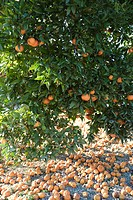 Orange tree heavy with fruit surrounded by fallen rotting fruit on ground