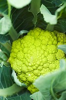 Unripe cauliflower, close_up