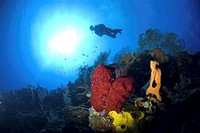 Scuba Diver over coral and sponge reef, Cayman Islands, Caribbean (thumbnail)