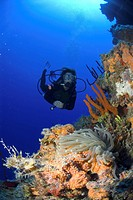 Diver approaching anemone on colourful coral and sponge wall, Little Cayman Island, Cayman Islands, Caribbean