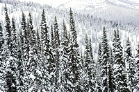 Snow covered trees in Whistler, Canada
