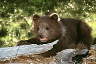 Bear (thumbnail)