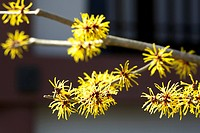 , gamamelis japonica (thumbnail)