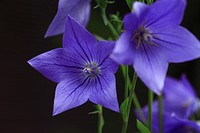 Bellflower (thumbnail)