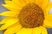 Sunflower (thumbnail)